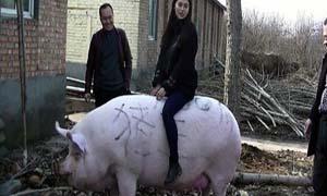 郑州1500斤猪王 肤白貌美大白猪肚大如罗驮人无压力