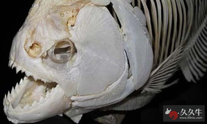 帕兰巨食人鱼竟能打败鲨鱼