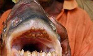 帕兰巨食人鱼竟能打败鲨鱼 揭秘食人鱼咬合力惊人内幕