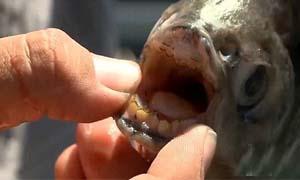 切蛋鱼咬蛋蛋的图 一口吞食睾丸血流成河男同胞直呼蛋疼